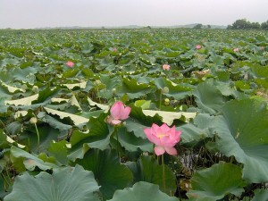790px-Lotus_Field