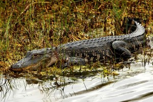 American_Alligator_at_Lake_Woodruff_-_Flickr_-_Andrea_Westmoreland